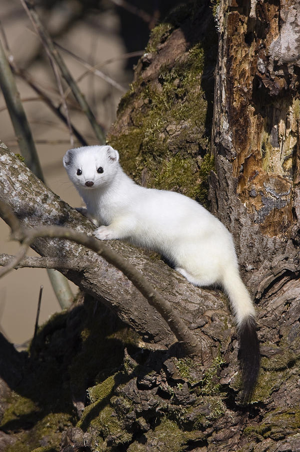 short-tailed-weasel-mustela-erminea-konrad-wothe